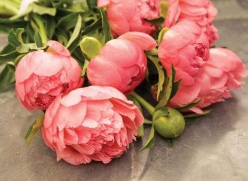 Peonies Season anisti ibuno flowers : peonies season