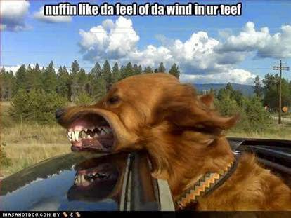 Dog meme. nuffin like da feel of da wind in ur teef. Nothing like the feeling of the wind in your teeth.