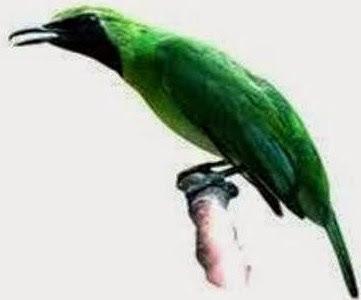 Cara Perawatan Supaya Cepat Gacor Dan Juga Ngentrok Pada Burung Cucak Ijo
