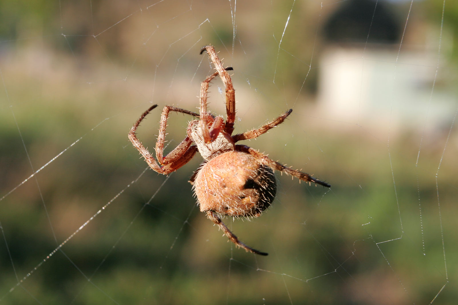 Orb Weaver Spider | The Life of Animals