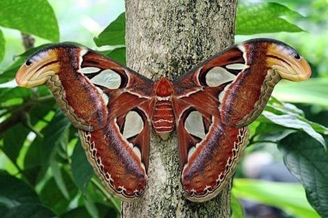Largest moth in the world - photo#15
