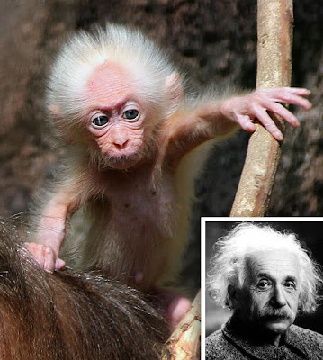 EINSTEIN LOOK-ALIKE MONKEY FOUND IN MALAYSIA
