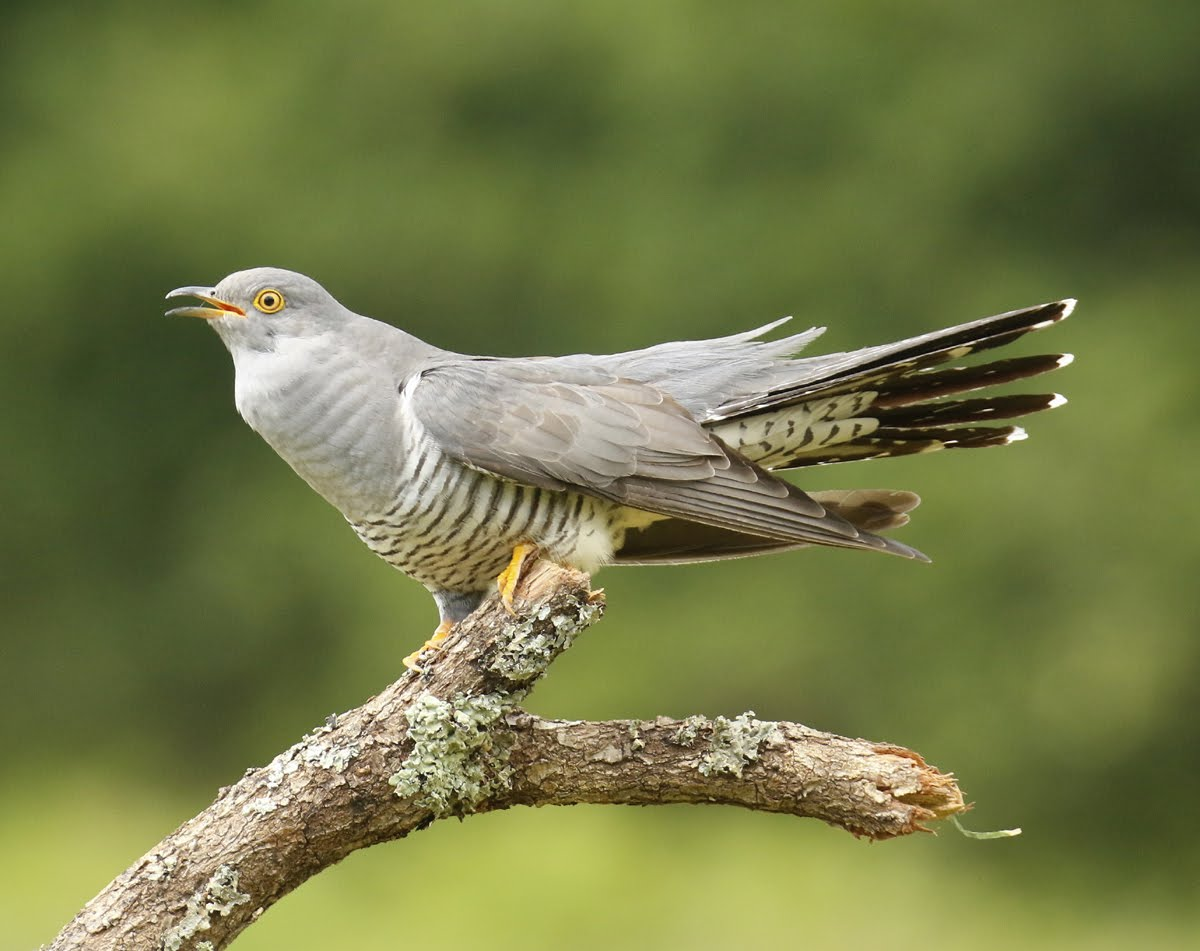 European Cuckoo