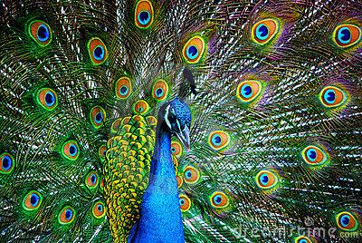 Esencia del ser la magia de las plumas de pavo real - Fotos de un pavo real ...