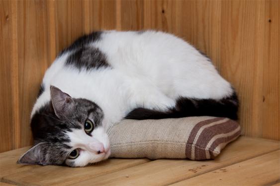 Kissa makoilee saunan lauteella