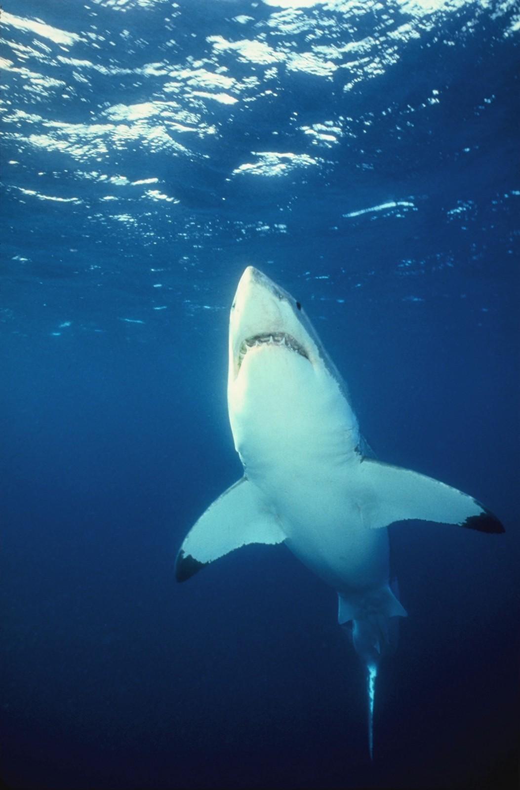 http://4.bp.blogspot.com/-PjH3Opq_ofM/Tkgqyw6PrEI/AAAAAAAALQo/sV0VP9cT3iI/s1600/Sharks+and+Killer+Whales+Wallpaper+%252846%2529.JPG