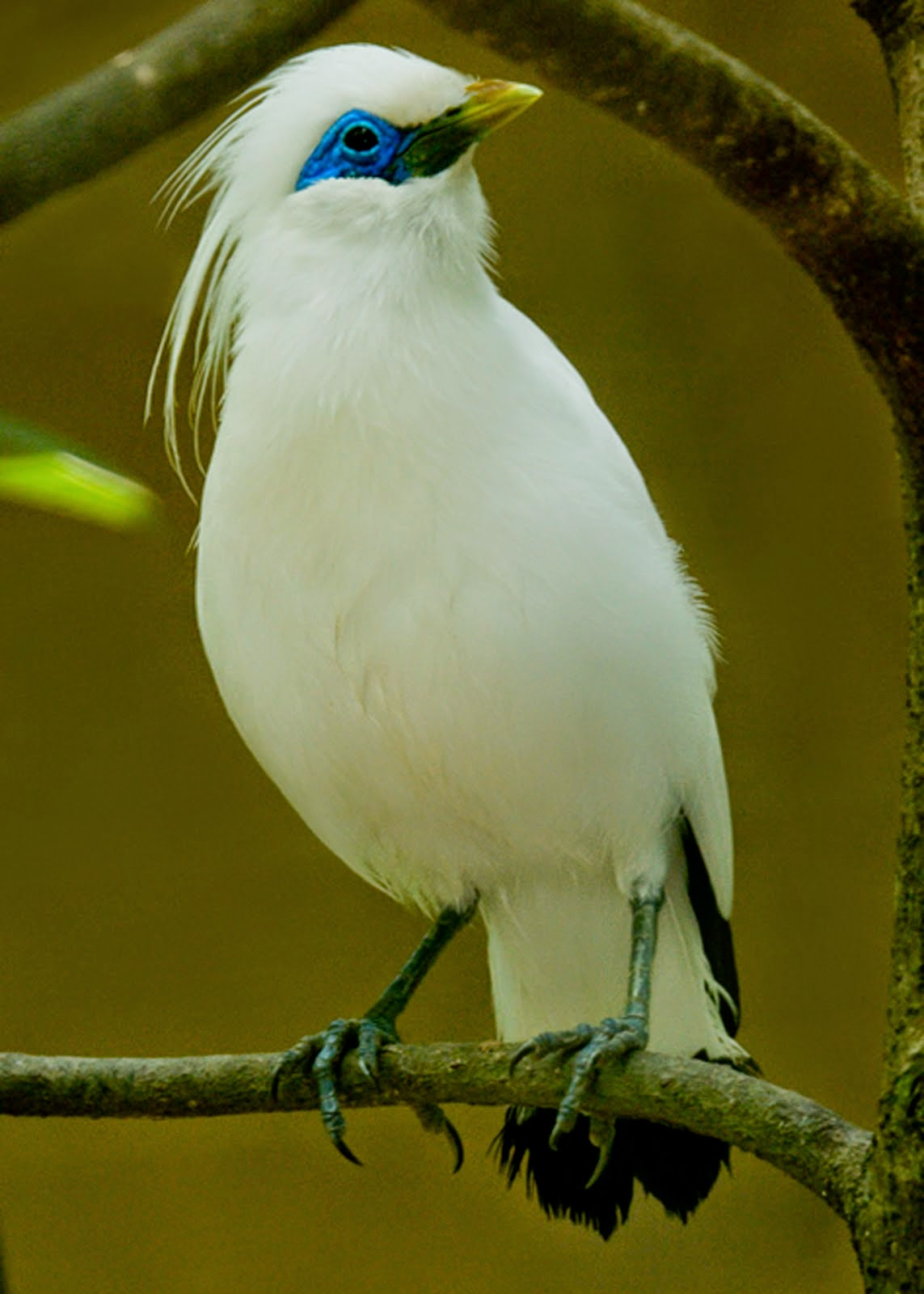 Foto Burung Jalak Putih Terbaik