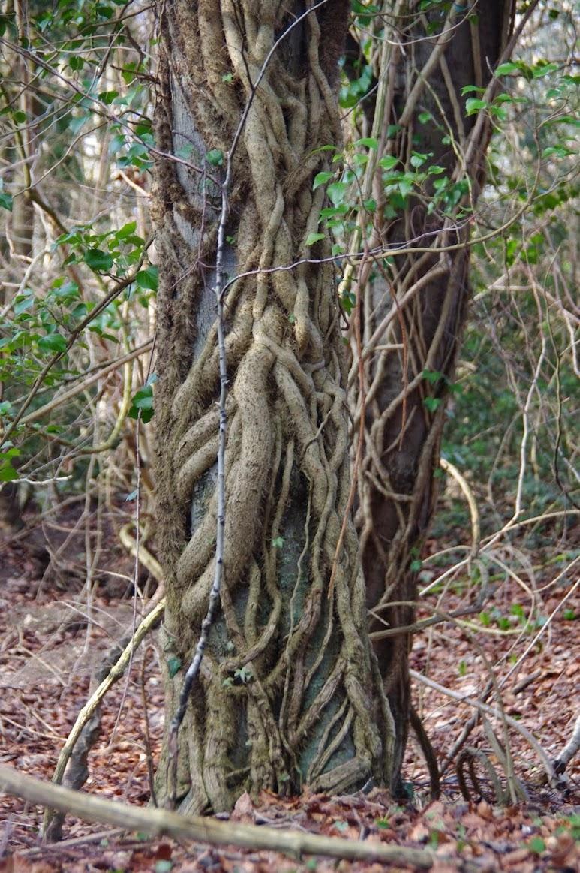 Ivy/Hedera helix