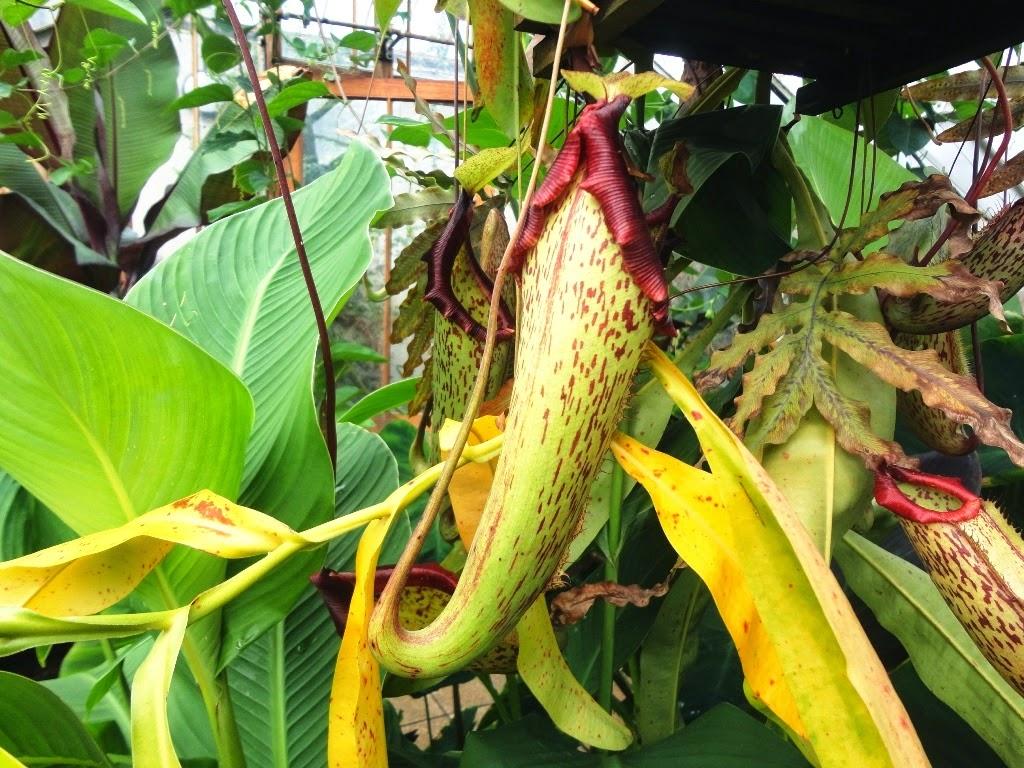 Nos sucede algo similar con las nepentes o plantas jarro, unas carnívoras especialmente llamativas, pero habrá que viajar a Filipinas, por ejmplo,