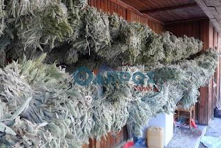 180 κιλά παράνομου τσαγιού Ταϋγέτου κατέσχεσε το Δασαρχείο Καλαμάτας
