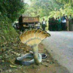 Gambar ular berkepala tujuh