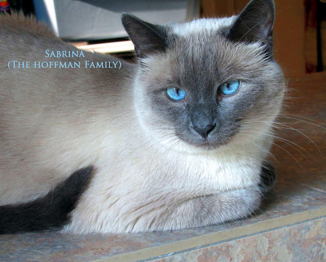 Beautiful Siamese cat, Sabrina