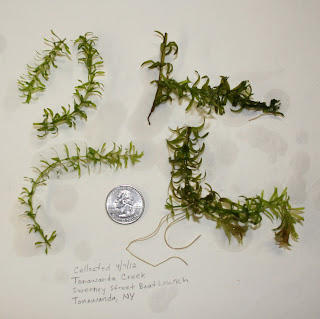Collected hydrilla