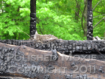 Picture of robin's nest sitting on the charred remains of a burnt structure beam