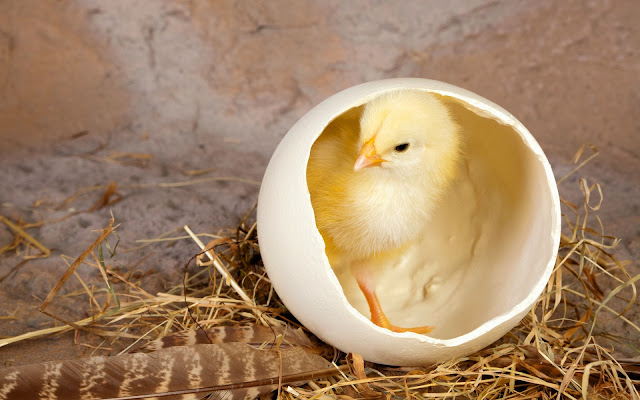 Egg In Chicken