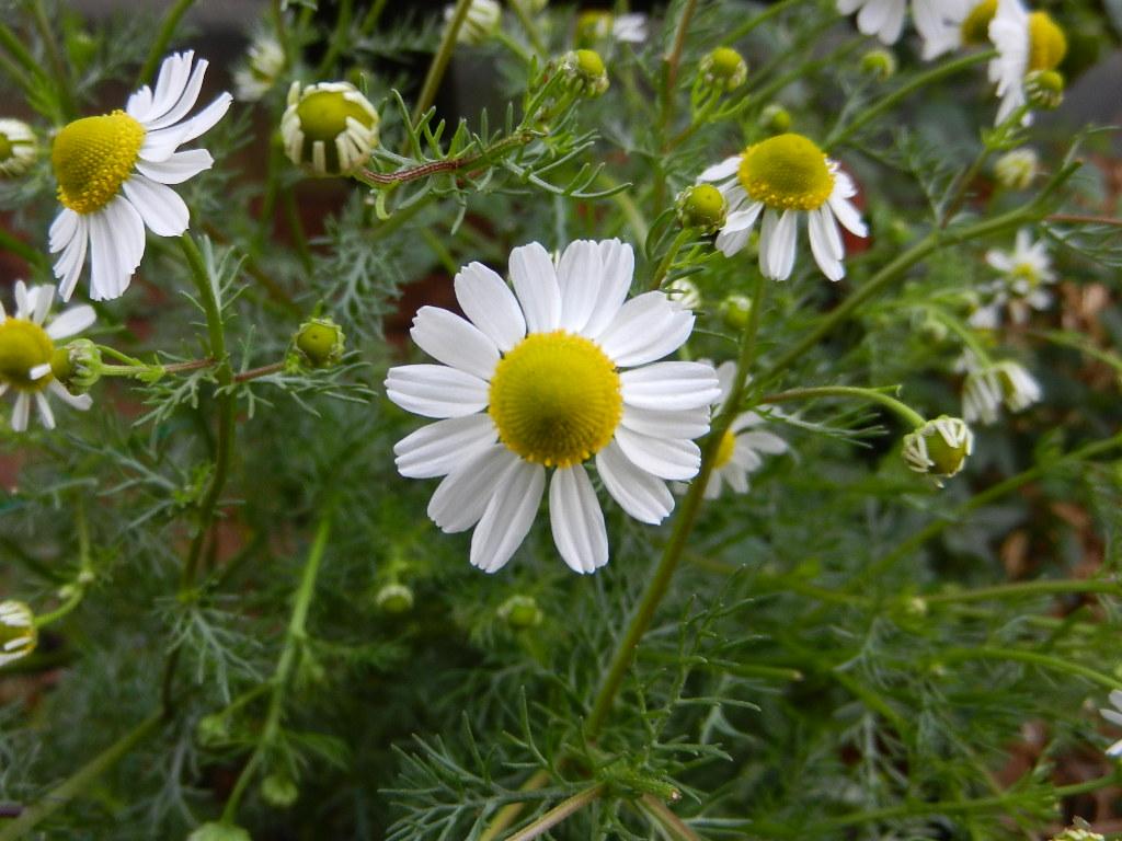Plantas aromaticas y medicinales en el huerto el balcon - Plantas aromaticas en casa ...