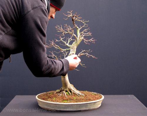 El bonsai de arce desde un arce del jard n - Tierra para bonsais ...