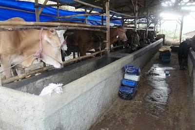 harga sapi qurban kurban kambing 2013 kandang b