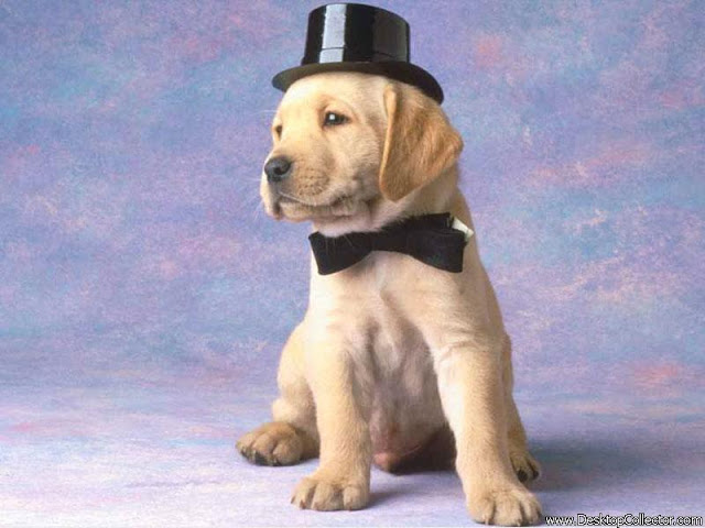 Cute Golden labrador Dog