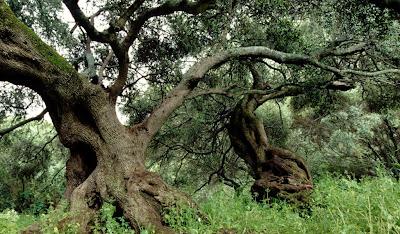 La gara è tra 5 bellissimi alberi due platani due querce e un tiglio