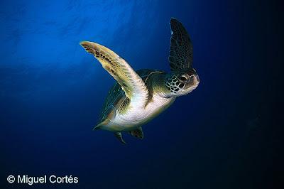 Tortuga verde en el fondo marino