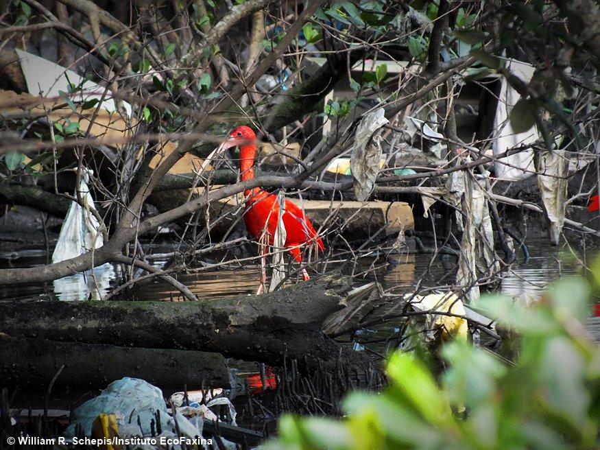 Guará (Eudocimus ruber) procura alimento no mangue em meio a muito plástico.
