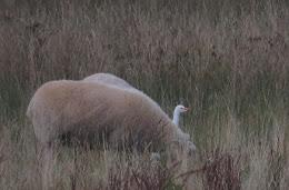 Cattle Egret-Burton RSPB-13th September 2015