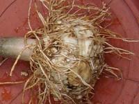 Ramuan Obat Herbal Sakit Kuning Bonggol Bambu Kuning