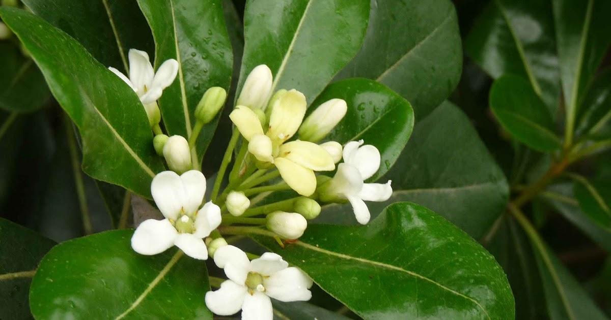 En el jardin azahares y azareros for Arboles frutales de hoja perenne para jardin