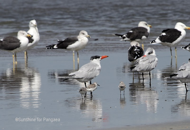 Terns and Gulls in Gambia