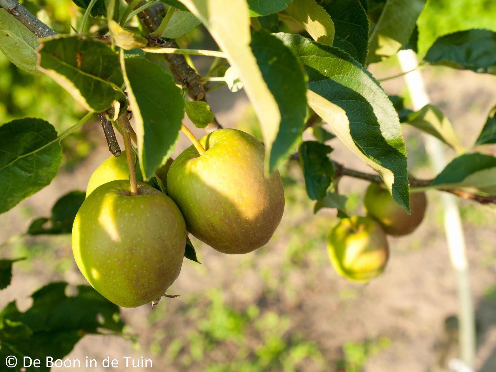 appel appels appelboom volkstuin moestuin