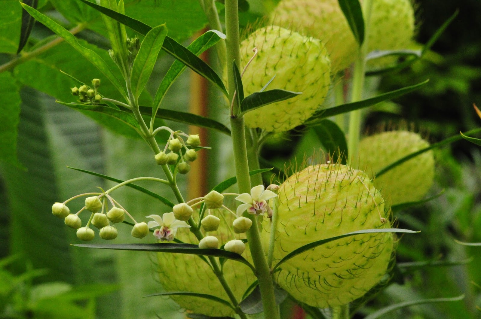 hairy balls plant culture