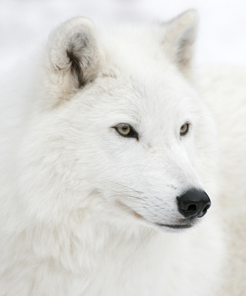 Funny white wolf face
