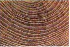 vista de los anillos del tronco