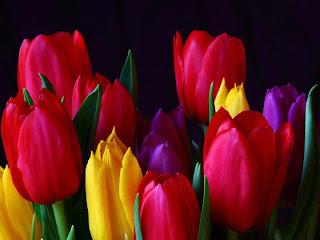 Tulipanes sobre fondo negro