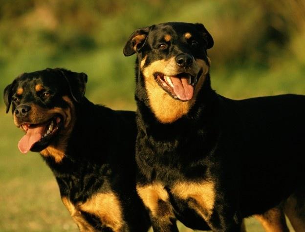 Tongue length of  a Rottweiler