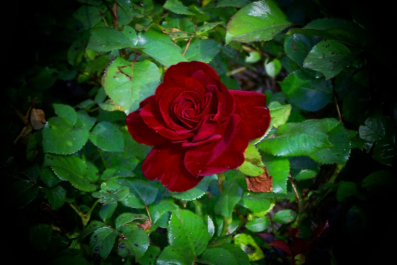 Red Roses Pictures Free Download