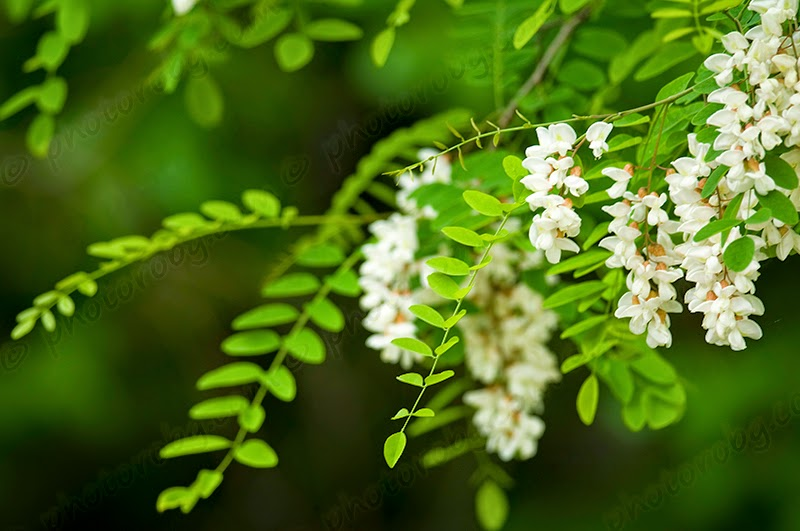 Ask a Question forum: Locust Tree Help - Garden.org