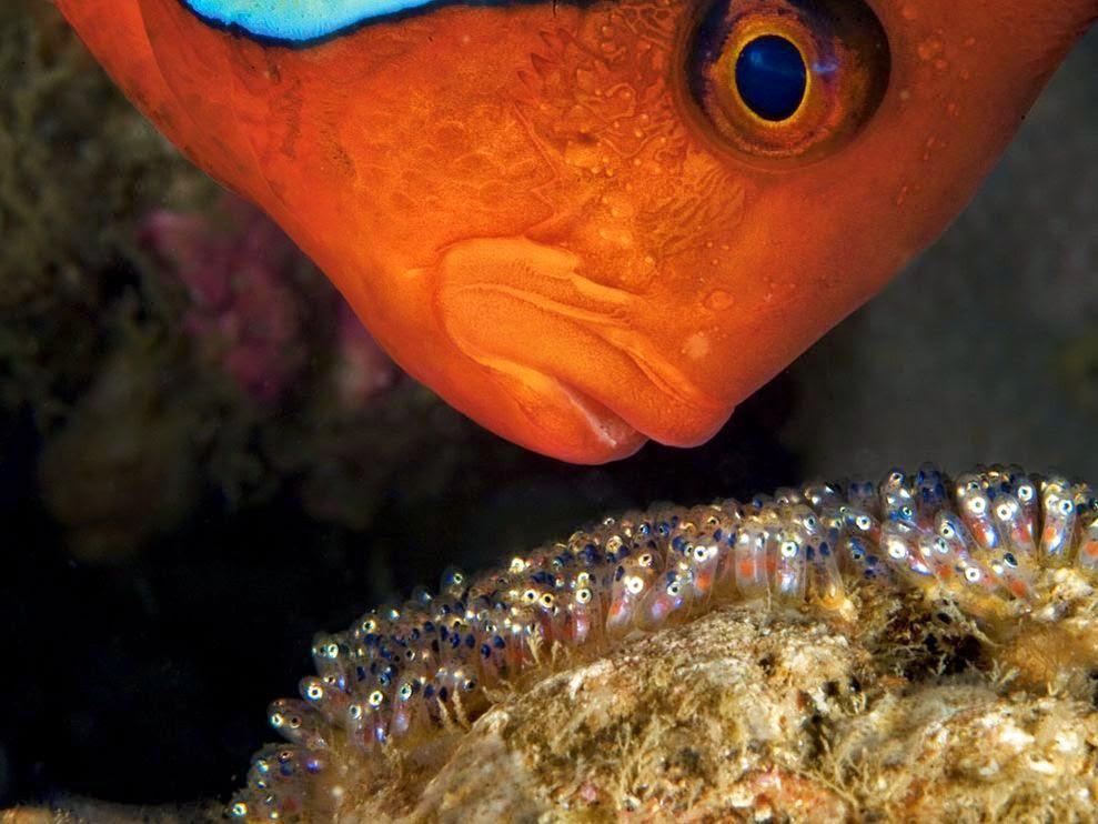 Reprodução dos Peixes Tomato-clownfish_13141_990x742