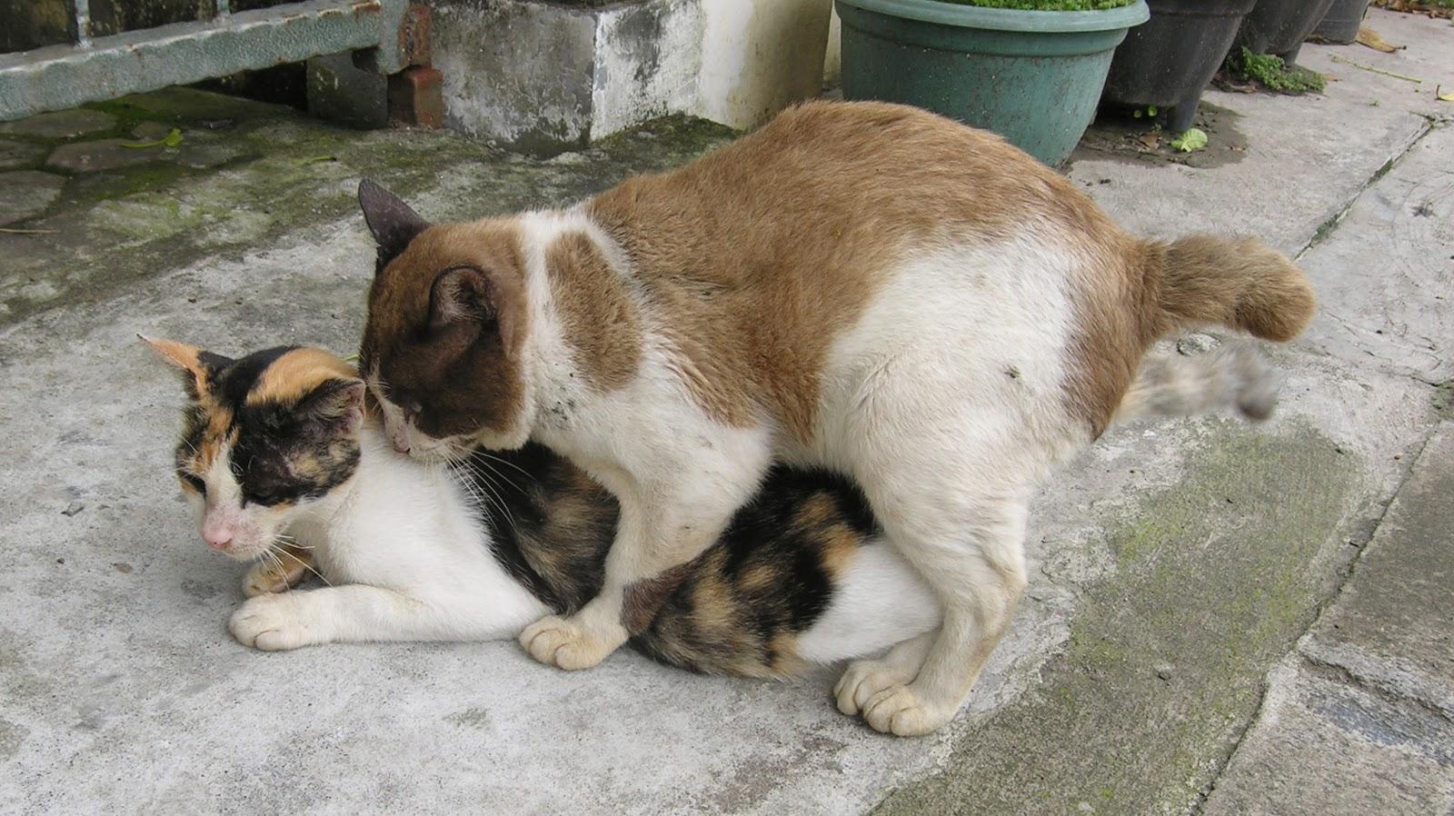 gambar kucing kawin