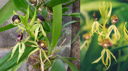 Cockleshell or clamshell orchid scientific name is Prosthechea cochleata with a photo