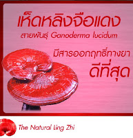 Kangzen Natural Lıng Zhı