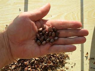 10 декабря, семена клещевины