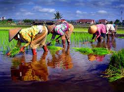 petani nanam padi