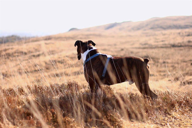 boxer dog, standing in dry grass, looking over the landscape