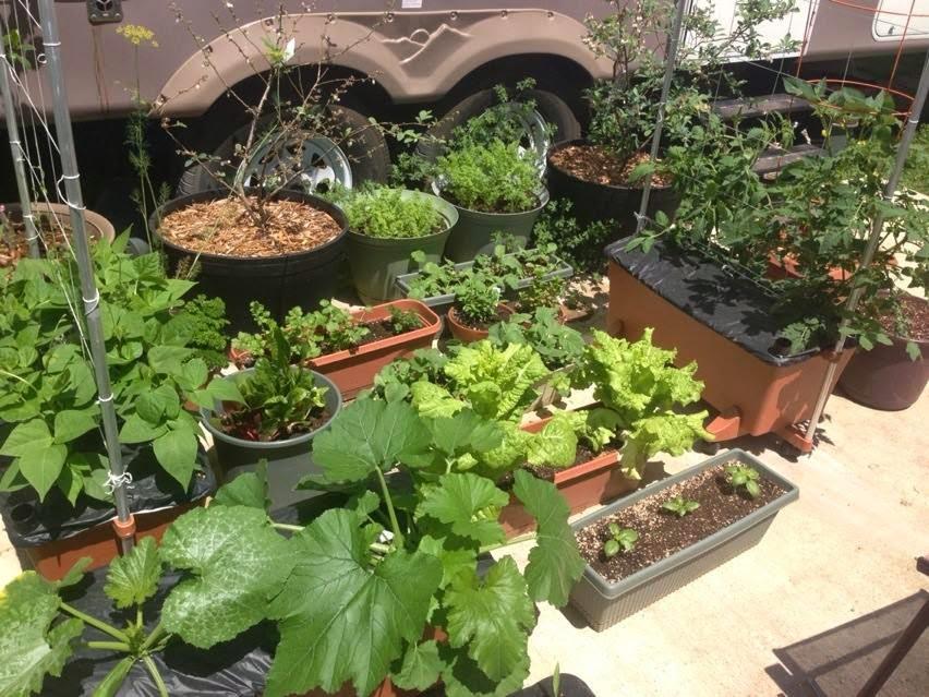 Okra Plant in Pot my Little Okra Plant