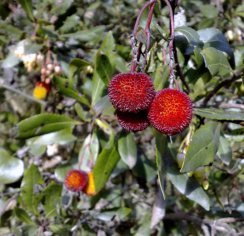 Rboles con alma madro o arbo arbutus unedo for Arbol con raices y frutos