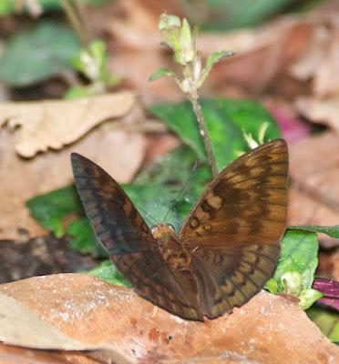 Baron sp (Euthalia cf aconthea)