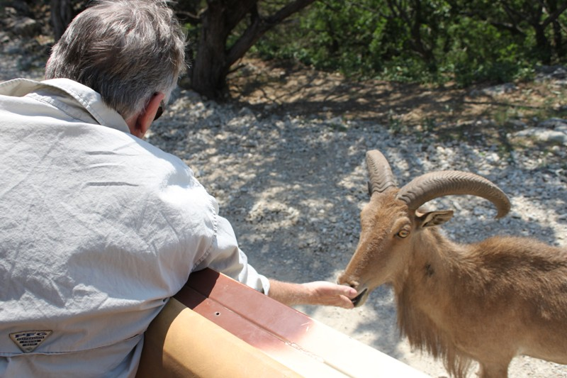 I feed an aoudad. & Fossil Rim Wildlife Center - Close Encounters of the Best Kind ...