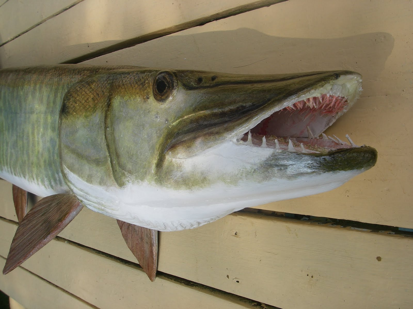 Muskie mouth for Muskie fish teeth